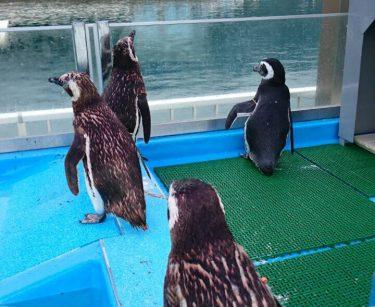 イルカ島マゼランペンギン