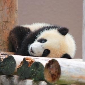 コストコのパンダのぬいぐるみ!値段から魅力までをまとめて解説