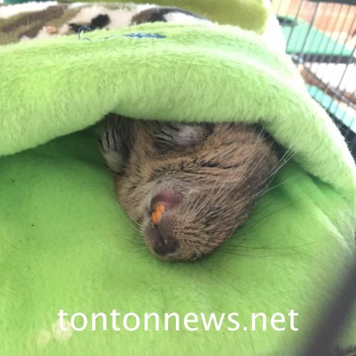 ハンモックの中で完全に油断したデグーの寝姿