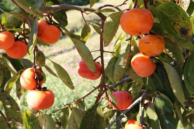 ハムスターに柿をあげる時の注意点 画像1