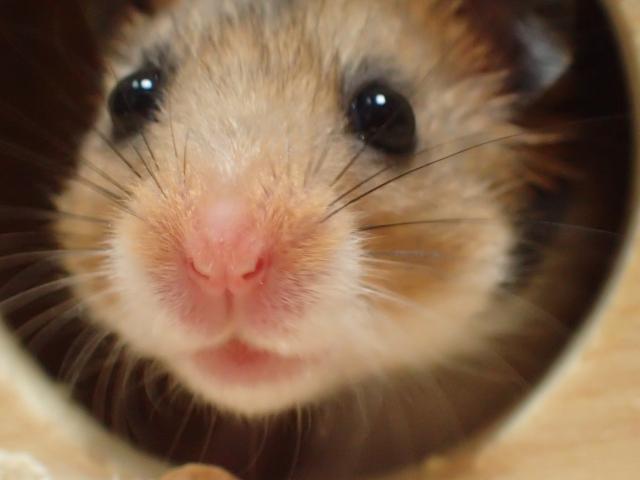 ハムスターはキウイを食べられます