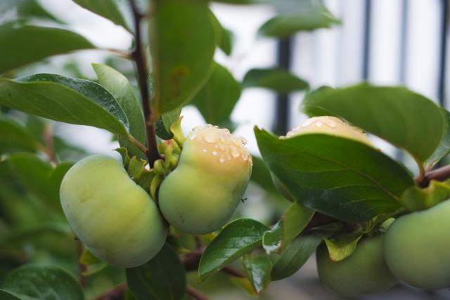 ハムスターに青い柿を食べさせてはいけない