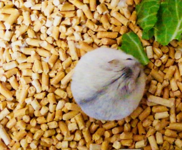 ハムスターに与える小松菜の大きさ