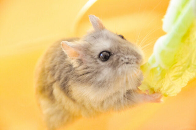 ハムスターがキャベツを食べている画像