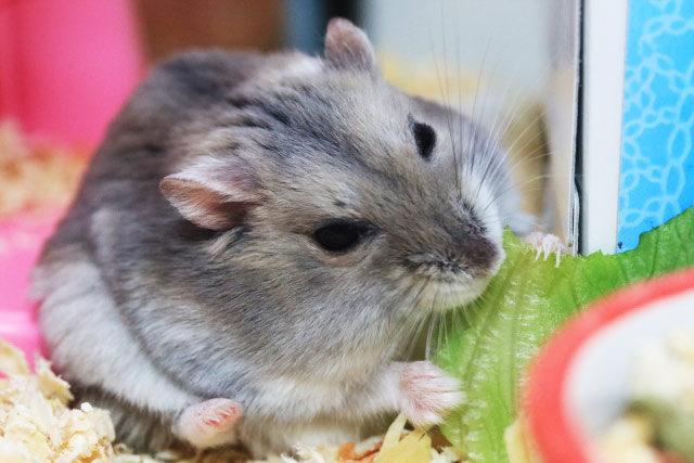 ハムスターがキャベツを食べている画像1