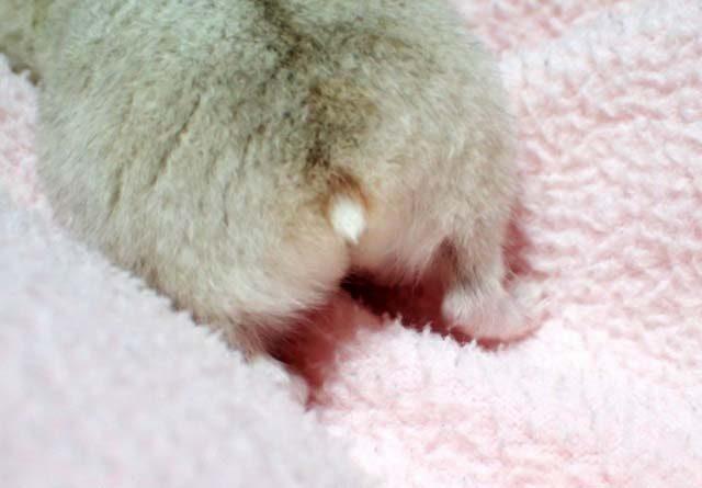 ハムスターのしっぽは短いの画像です