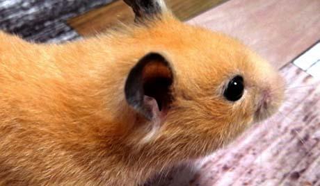 ハムスターの耳の画像です