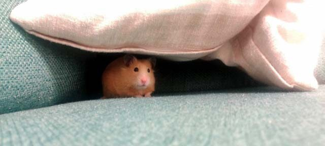 隠れているハムスターの画像
