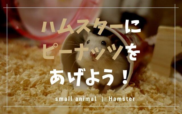 ハムスターにピーナッツをあげようの画像です