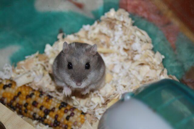 ハムスターがコーンを食べている画像1です